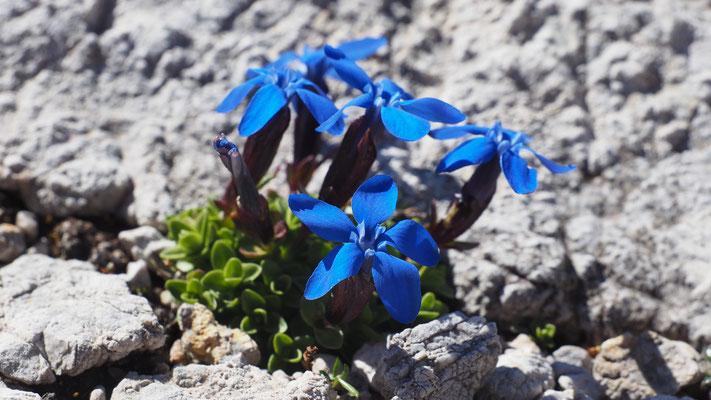 Oberösterreich, Rundblättriger Enzian, gentiana orbicularis