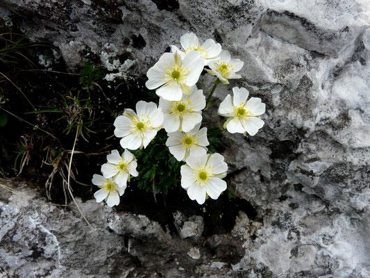 Slowenien, Alpen-Hahnenfuß, ranunculus alpestris