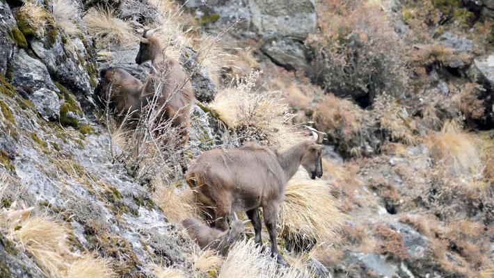 Nepal, Tahr (Weibchen)