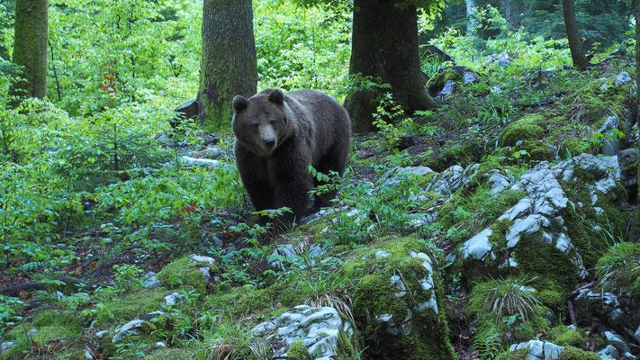Slowenien, ein ausgewachsenes Braunbär Männchen