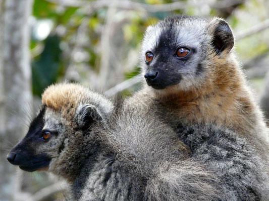 Madagaskar, Rotstirnmaki