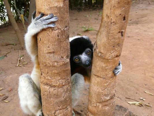 Madagaskar, Kronen-Sifaka