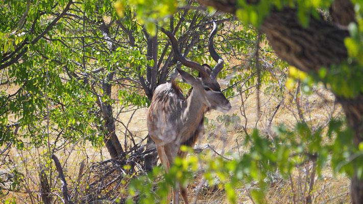 Kudu Männchen