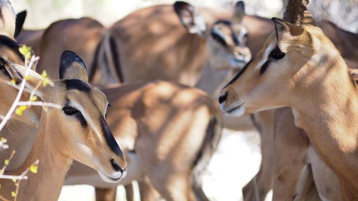 Schwarznasen Impalas (Etosha)