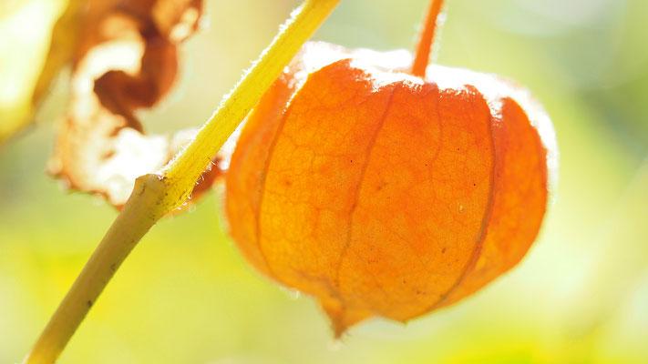 Niederösterreich, Lampionblume (Frucht), physalis alkekengi