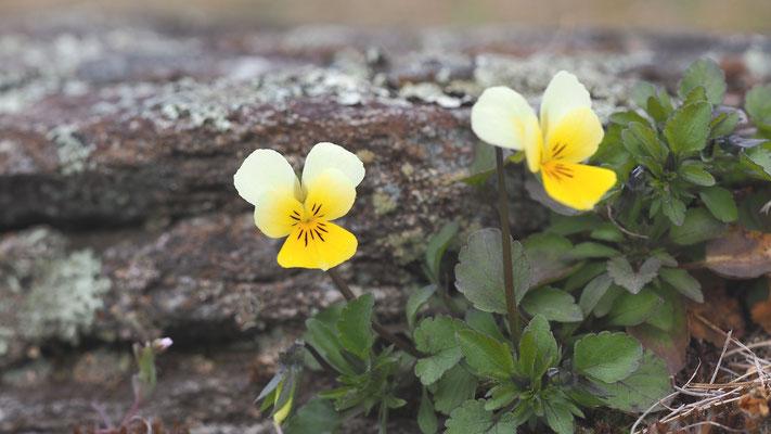 Niederösterreich, Felsen-Stiefmütterchen, viola tricolor ssp. alpestris
