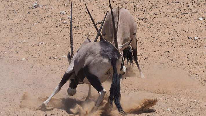 Oryxantilopen (Etosha)
