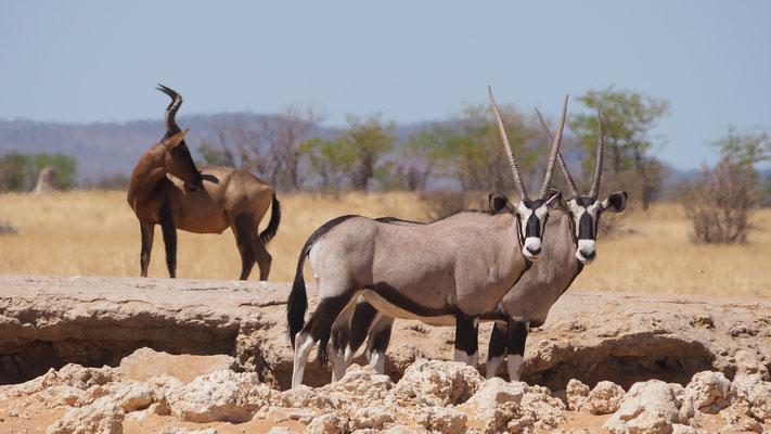 Oryxantilopen und Südliche Kuhantilope (Etosha)