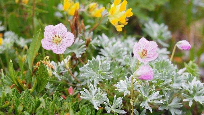 Italien,  Silber-Storchschnabel, geranium argenteum und Echter Wundklee