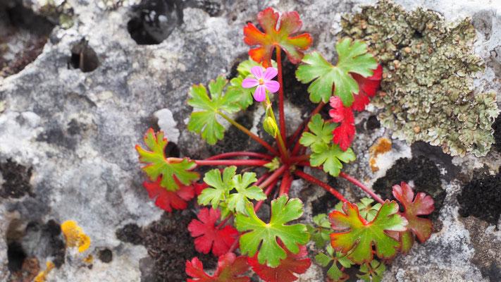 Italien, Glänzender Storchschnabel, geranium lucidum
