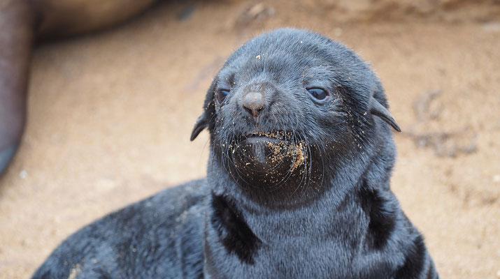 Afrikanischer Seebär, Jungtier (Cape Cross)