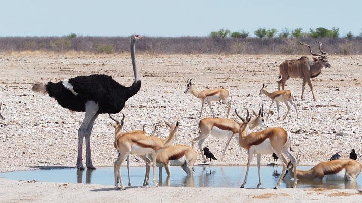 Strauß, Springböcke, Kudu