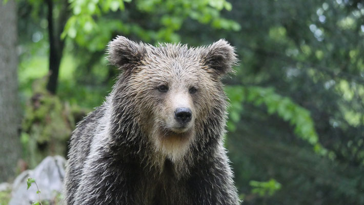 junger Braunbär in Slowenien