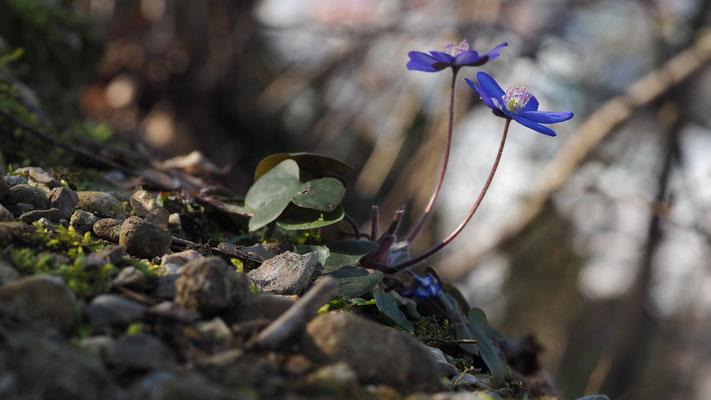 Oberösterreich, Leberblümchen, hepatica nobilis