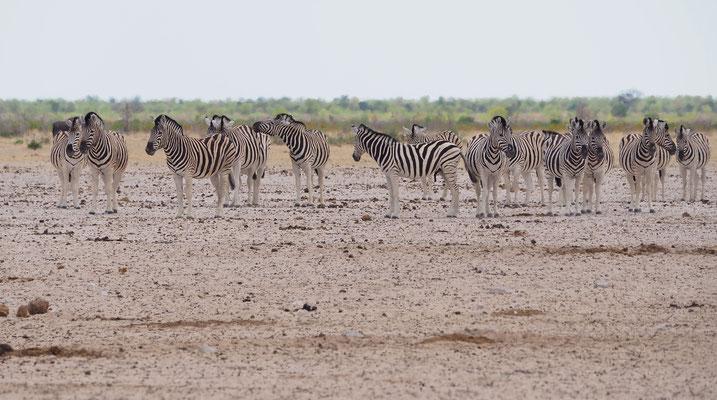 Steppenzebras (Etosha)