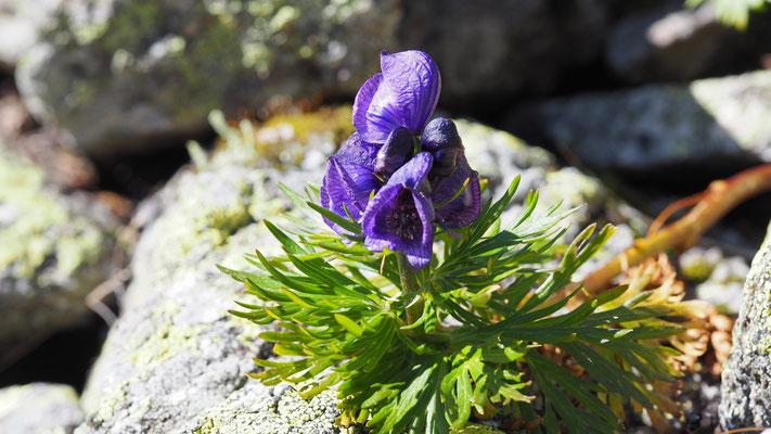 Steiermark, Blauer Eisenhut, aconitum napellus