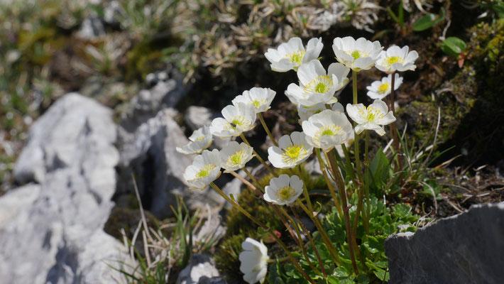 Steiermark, Alpen-Hahnenfuß, ranunculus alpestris