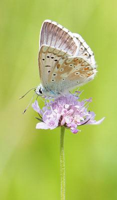 Witwenblume, knautia mit Silbergrünem Bläuling