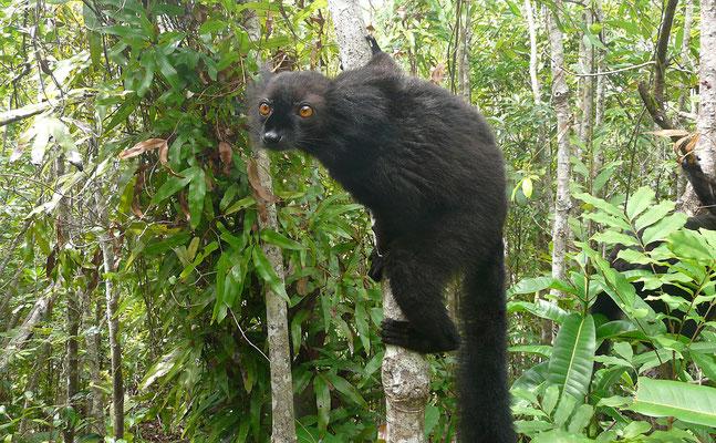 Madagaskar, Mohrenmaki (Männchen)