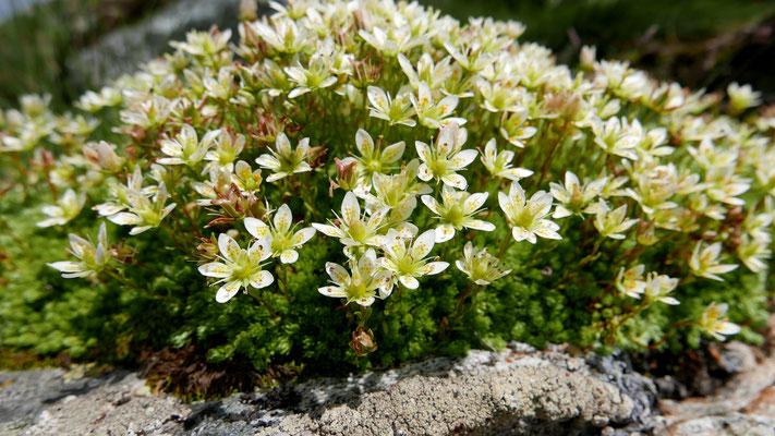 Steiermark, Moos-Steinbrech, saxifraga bryoides