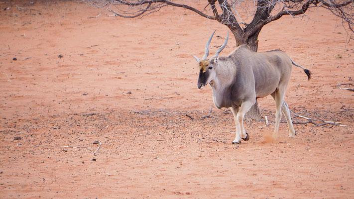 die Elenantilope kann durchaus ein Gewicht von 1.000kg erreichen und ist somit die größte Antilopenart