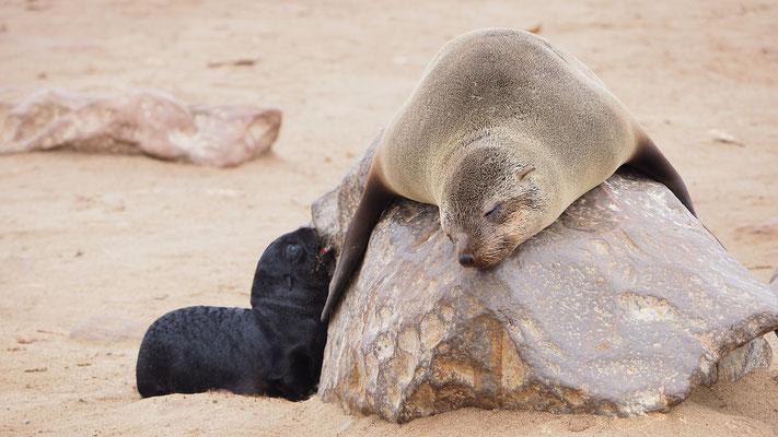 Afrikanischer Seebär mit Nachwuchs (Cape Cross)