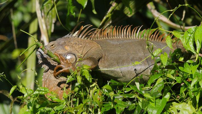 Costa Rica, Grüner Leguan