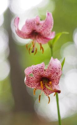 Türkenbund-Lilie, lilium martagon