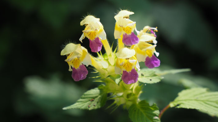 Oberösterreich, Bunter Hohlzahn, galeopsis speciosa