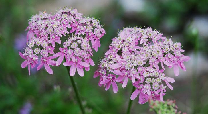 Kärnten, Österreichischer Bärenklau, heracleum austriacum ssp. sifolium