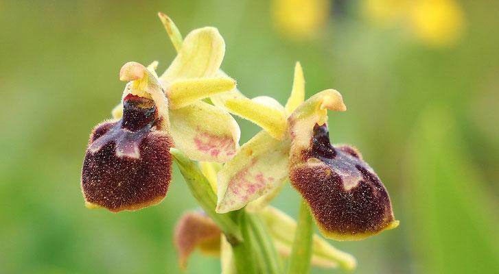 Spinnen-Ragwurz, ophrys sphegodes (Italien)