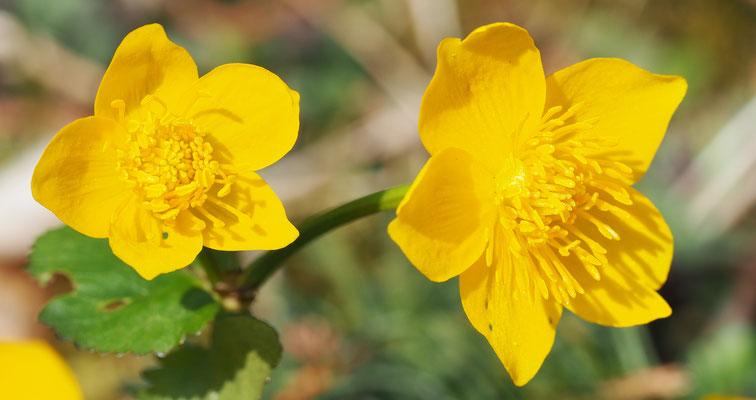 Oberösterreich, Sumpf-Dotterblume, caltha palustris