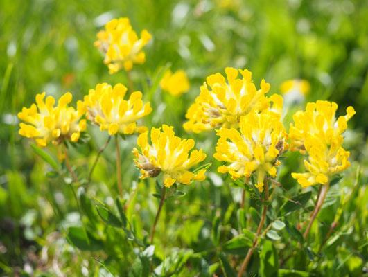 Steiermark, Echter Wundklee, anthyllis vulneraria