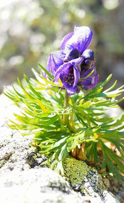 Österreich, Blauer Eisenhut, aconitum napellus