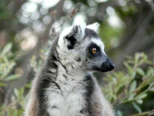 Madagaskar, Katta