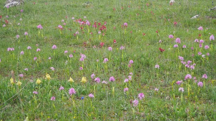 Orchideenwiese in Italien
