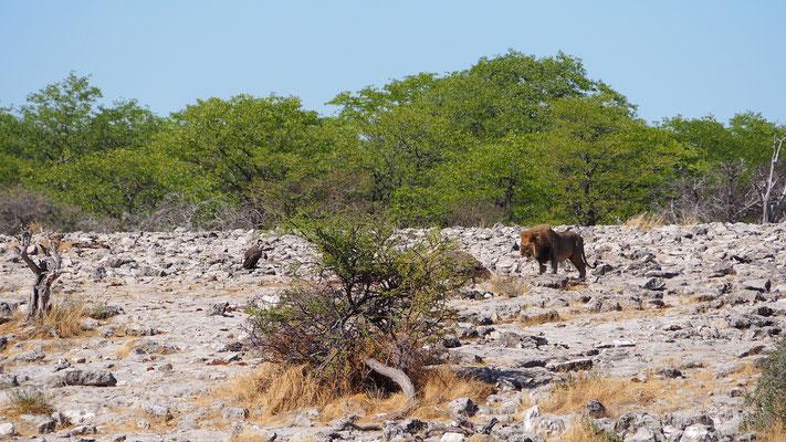 der Löwe lässt die Geier warten