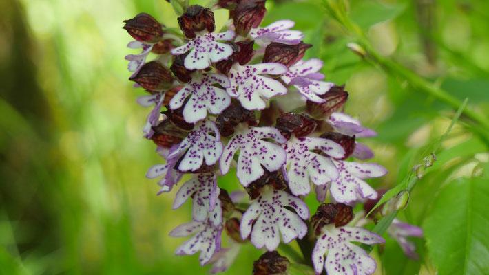 Purpur-Knabenkraut, orchis purpurea (Frankreich)