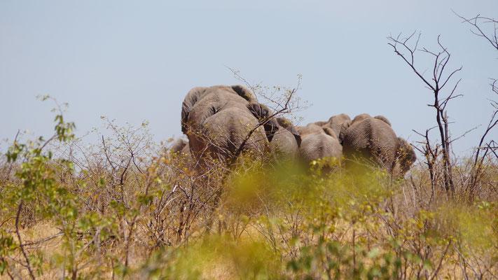 Afrikanische Elefanten am Weg zum Wasserloch (Kühe und Kälber)