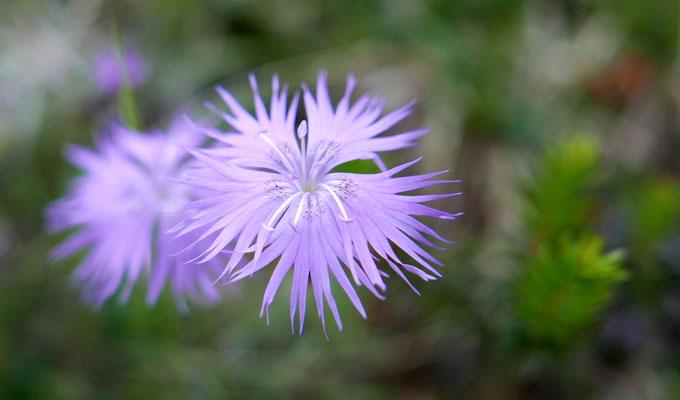 Steiermark, Zierliche Federnelke, dianthus plumarius ssp. blandus