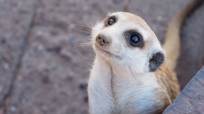 Erdmännchen (Kalahari)
