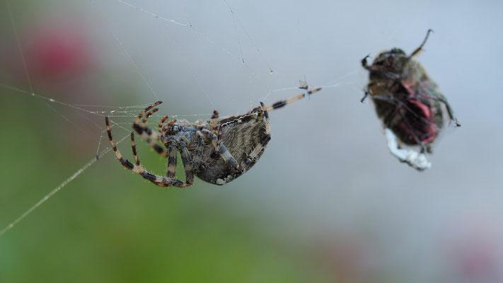 Österreich, die Spinne und das Opfer
