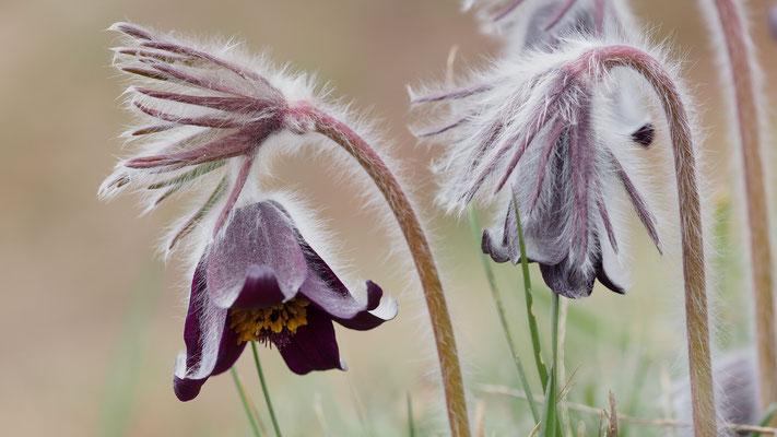 Niederösterreich, Wiesen-Kuhschelle, pulsatilla pratensis ssp. pratensis