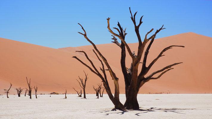 die abgestorbenen Kameldornbäume im Deadvlei