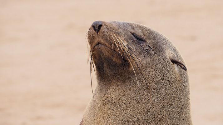 Afrikanischer Seebär (Cape Cross)