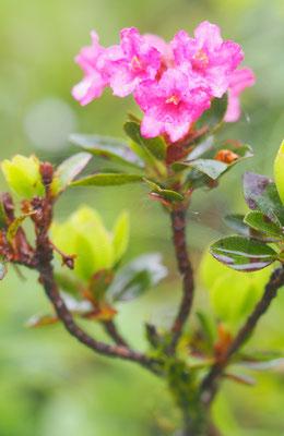 Bewimperte Alpenrose, rhododendron hirsutum