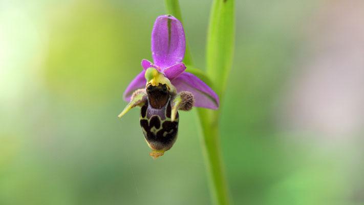 Ragwurz, ophrys (Italien)