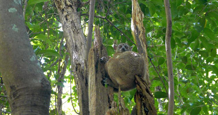 Madagaskar, nachtaktiver Lemur
