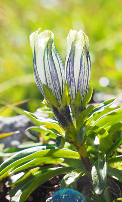 Kälteliebender Enzian (Tauern-Enzian), gentiana frigida