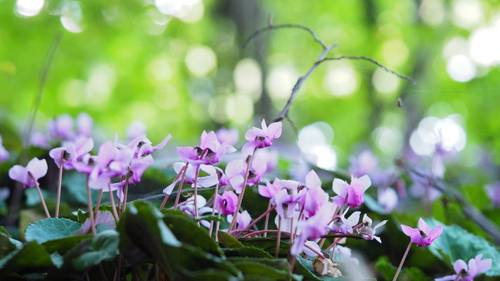 Oberösterreich, Europäisches Alpenveilchen, cyclamen purpurascens